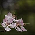 Flowering Crabapple by Scott Wood