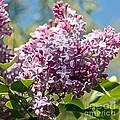 Flowering Lliac Bush by Kathleen Struckle