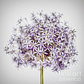 Flowering Onion Flower by Elena Elisseeva