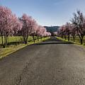 Flowering Plum Trees by Belinda Greb