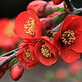 Flowering Quince by Angie Vogel