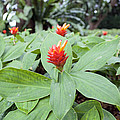 Flowering Red Ginger Plant by Jit Lim