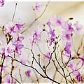 Flowering Rhododendron by Elena Elisseeva