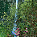 Flowering Tree Below Multnomah Falls Columbia River Gorge Nsa Oregon by Dave Welling
