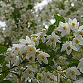 Flowering Tree by Mick Anderson