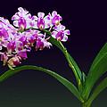 Flowers - Aerides Lawrenciae X Odorata Orchid by Susan Savad