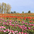 Flowers Blooming In Tulip Field In Springtime by Jit Lim