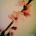 Flowers - Cherry Blossoms - Blooms by Jan Dappen