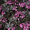 Flowers Dallas Arboretum V16 by Douglas Barnard