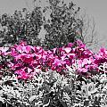 Flowers Dallas Arboretum V17 by Douglas Barnard
