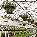 Flowers Growing In Foil Hothouse Of Garden Center by Stephan Pietzko