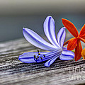 Flowers Of Blue And Orange by Marvin Spates