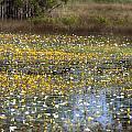 Flowers Of The Billabong by Douglas Barnard