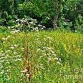 Flowers Of The Field by Elvis Vaughn