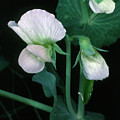 Flowers Of The Garden Pea by Dr Jeremy Burgess/science Photo Library.