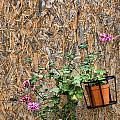 Flowers On Wall - Taromina by David Smith