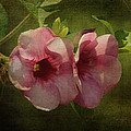 Flowers - Purple Allamanda by HH Photography of Florida