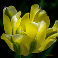 Flowing Yellow Tulip Petals by Julie Palencia