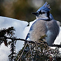 Fluffy Blue Jay by Rick Mousseau