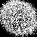 Fluffy Dandelion On Black by Nina Ficur Feenan