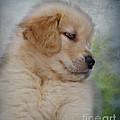 Fluffy Golden Puppy by Susan Candelario