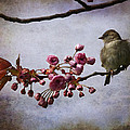 Fluffy Sparrow  by Barbara Orenya