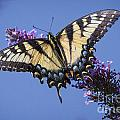 Fluted Swallowtail by Ronald Lutz
