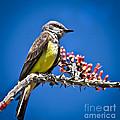 Flycatcher by Robert Bales