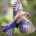 Flying Bluebird by Jean Noren