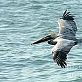 Flying Brown Pelican  by Carol Groenen