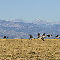 Flying Canadian Geese Colorado Rocky Mountains 1 by James BO Insogna