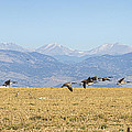 Flying Canadian Geese Rocky Mountains 2 by James BO  Insogna