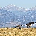 Flying Canadian Geese Rocky Mountains Panorama 2 by James BO Insogna