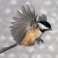 Flying Chickadee by Leda Robertson