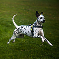 Flying Crazy Dog. Kokkie. Dalmation Dog by Jenny Rainbow