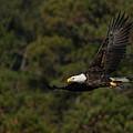 Flying Eagle by Scott Bush