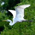Flying Egret Closeup by Maria Urso
