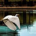 Flying Egret by Robert Bales