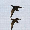 Flying Fast Ducks by Tom Janca