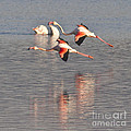 Flying Flamingos by Heiko Koehrer-Wagner
