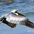 Flying Florida Pelican by Nick Gustafson