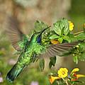 Flying Green Violetear by Heiko Koehrer-Wagner