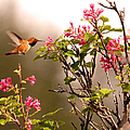Flying Hummingbird Sipping Nectar by Peggy Collins