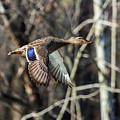 Flying Mallard by Flying Turkey