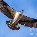 Flying Osprey by Robert Bales