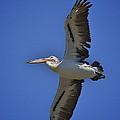 Flying Pelican 3 by Heng Tan
