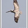 Flying Pelican by Mariarosa Rockefeller