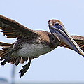 Flying Pelican Panorama by Carol Groenen