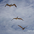 Flying Pelicans by Genaro Rojas