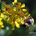Flying Pollen - American Bumble Bee by Meg Rousher